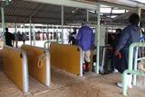 牛の体重測定